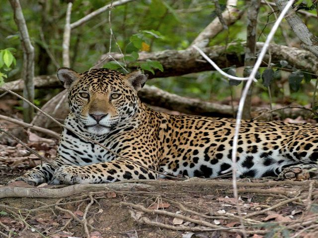 Pantanal Jaguar Safari